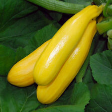 x2 COURGETTE PLANTS 'Yellow Golden' - Vegetable Seedling Zucchini