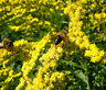 CANADA GOLDENRODE Solidago Canadensis - 50,000 Bulk Seeds