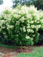 EVERGREEN FLOWERING ASH,HARDY SMALL BUSHY TREE, EXCELLENT SCREEN, 50 FRESH SEEDS