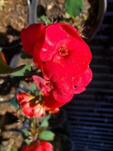 Euphorbia Milii -Crown of Thorns Succulent Thai Hybrid - 7 to 10 inches tall