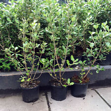 Olearia hedging Plants x 10. Seaside plants - height:50-60cm. Free Delivery!