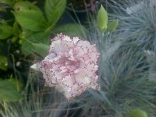 Carnation Seeds Raspberry Ripple Carnation 50 Seeds GARDEN STARTS