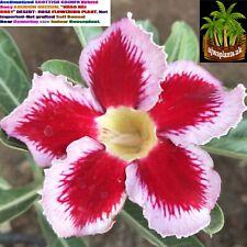 "Acclimatized Adenium ""KHAO HAI RUAY"" Not imported-Not grafted Self Bonsai Plant"