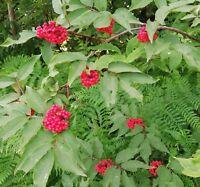 NEU Rote Holunder eine opulente Blütenfülle und dekorative roten Beeren.