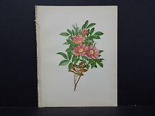 Botanical, WildFlowers, Issac Sprague C. 1883 #08 The Swamp Rose