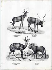 Les antilopes-Gnou-chasse-animaux - Lithographie Brodtmann 1825