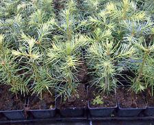 1 x Coloradotanne - Abies concolor im Topf - Container 10-20 cm