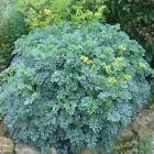 Rue-Ruta Graveolens- 25 Seeds- BOGO 50% off SALE