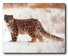 Leopard in Snow Wildlife Animal Wall Decor Art Print Poster (16x20)