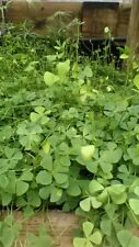 Tall Upright Water Clover,Pond Plant,Biofilters,100% Organic,Licensed Pa Grower