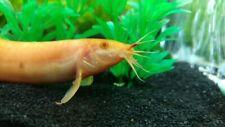 "3 Golden Dojo Loach (3""-3.5"") Live Fish 2Day Fedex shipping"