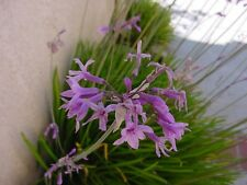 Tulbaghia violacea SOCIETY GARLIC Seeds!