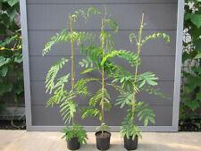 Albizia julibrissin 'Rosea' - Seidenbaum - Pflanze 60-80cm - Winterhart