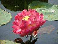 Liveseeds - Bonsai Lotus/ Bowl Pond Lotus/Water lily flower/Red Lotus 5 Seeds