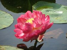 Liveseeds - Bonsai Lotus/ Bowl Pond Lotus/Water lily flower/Red Lotus 5 Seeds