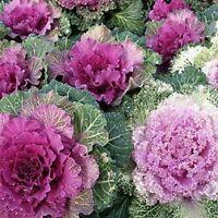 Ornamental Kale- brassica oleracae- 50 Seeds- BOGO 50% off SALE