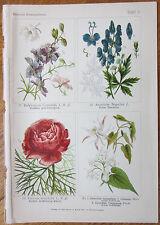 Vilmorin: Flowers Beautiful Print Paeonia Aconitum - 1896