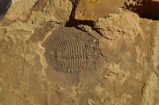 Nice Tamdaspis Jingxiensis Trilobite From the Cambrain of China