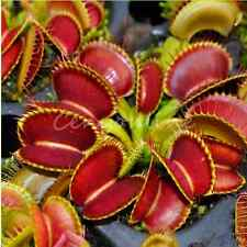 10x Venus Fly Trap Dionaea Muscipula Seed Bugs Mosquito Garden Plants Giant Clip