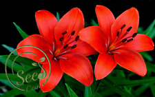 Red Lily Seeds Bulbs Flower Plant Lilium Perfume Home Garden Decor 100 Pcs