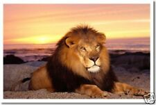 Lion at Sunset - Animal Predator Wildlife Print  POSTER