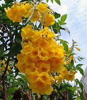 Tecoma Stans, Yellow Elder, Trumpet Shrub Bush, live tree plant