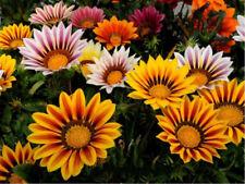 50 Seeds Mix Colors Gazania Bonsai Plant Tree House Herb Garden Flower Pot Decor