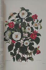 """XL Monograph 27x20"""", Genus Camellia, Japan Rose, Clara Maria Pope 1819, colour."""