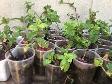 Healthy Well Rooted Live Sweet Mint, Mojito Mint Herb Plants