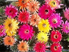 10x verschiedene blühfähige Echinopsis Hybriden hybrid   flowering size