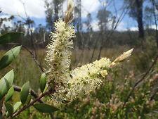 Melaleuca pallida-Botella de cepillo de Limón - 50 semillas