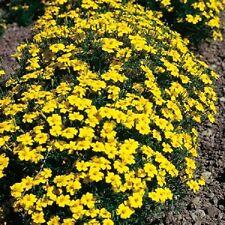 Tagetes Limón Piedra Preciosa - 25 GRAMOS - Aprox 30,000 semillas Anuales LOTE