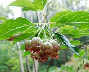 Enkianthus chinensis - Rare Shrub Plant in 9cm Pot