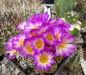 H.  10 FRESH SEEDS Mammillaria luethyi