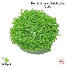 Hemianthus Callitrichoides Cuba Hc In Vitro Live Aquarium Plants Carpet InVitro
