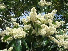 Eucalyptus alba (30 graines/seeds )