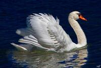 The Royal Swan by Chris Lord Photo Art Print Poster 24x36 inch