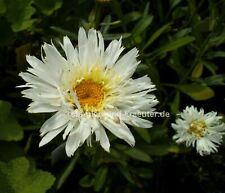 "Edelweiß-Margerite (Chrysanthemum maximum ""Snow Drift"") Pflanze im 9x9cm-Topf"