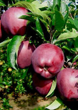 4ft - 5ft potted red spur delicious Apple Fruit Tree 2 year old