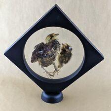 W100e Taxidermy Preserved Quail Chicks display specimen bird curiosities decor