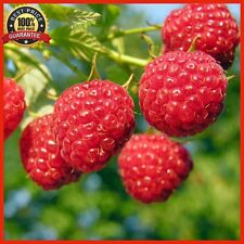 2000pcs Giant Red Raspberry Seeds, Garden Fruit Plant, Juicy And Delicious