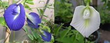 Blue & White Butterfly Pea (CLITORIA TERNATEA) 5 Seeds Each,Very Rare..