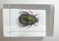 Red Leg Shining Scarab Beetle Anomala corrugata Clear Education Insect Specimen