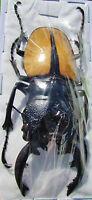 Indonesian Stag Beetle Odontolabis ludekingi 60-65 mm Male FAST FROM USA