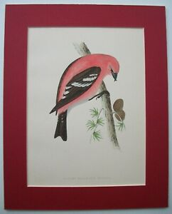 American White Winged Crossbill Bird Antique Print Mounted Morris Woodblock 1870