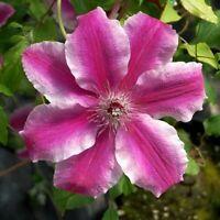 "Vine Carnaby Clematis Live Plant Garden Outdoor 2.5"" Pot"