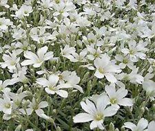 100+ Snow in Summer Cerastium Ground Cover Flower Seeds /Perennial