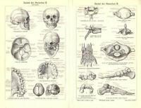 Gravur Skelett des Menschen Medizin menschlicher Körper von 1906 Bild Tafel RAR