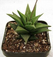 Haworthia viscosa hybrid