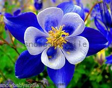 300 Columbine Seeds Aquilegia Caerulea Vulgaris Mixed Colors Hardy Flower Fresh